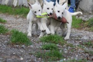 White-Shepherd-Puppies-BTWW-Spartans-081119-022