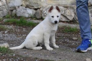 White-Shepherd-Puppies-BTWW-Spartans-081119-023