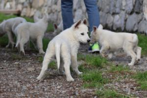 White-Shepherd-Puppies-BTWW-Spartans-081119-025