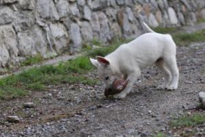 White-Shepherd-Puppies-BTWW-Spartans-081119-026