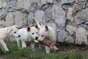 White-Shepherd-Puppies-BTWW-Spartans-081119-028