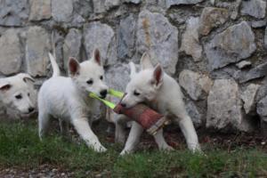 White-Shepherd-Puppies-BTWW-Spartans-081119-029