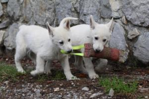 White-Shepherd-Puppies-BTWW-Spartans-081119-030