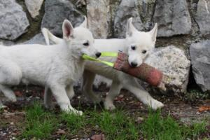 White-Shepherd-Puppies-BTWW-Spartans-081119-031