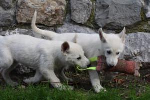 White-Shepherd-Puppies-BTWW-Spartans-081119-032
