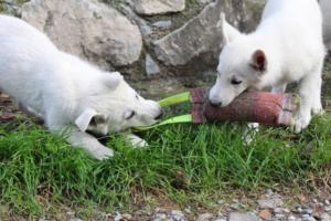 White-Shepherd-Puppies-BTWW-Spartans-081119-033