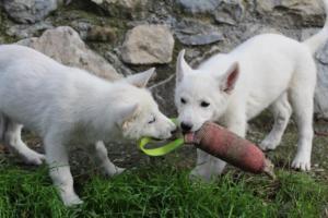 White-Shepherd-Puppies-BTWW-Spartans-081119-034