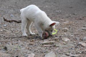 White-Shepherd-Puppies-BTWW-Spartans-081119-035
