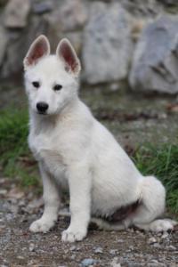 White-Shepherd-Puppies-BTWW-Spartans-081119-037