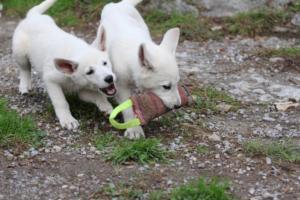 White-Shepherd-Puppies-BTWW-Spartans-081119-038