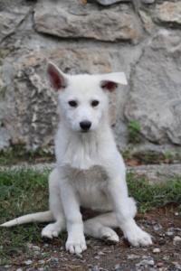 White-Shepherd-Puppies-BTWW-Spartans-081119-039