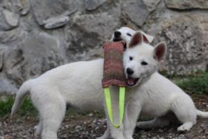 White-Shepherd-Puppies-BTWW-Spartans-081119-040