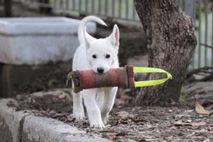 White-Shepherd-Puppies-BTWW-Spartans-081119-041