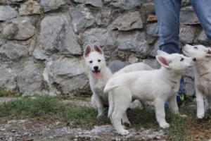 White-Shepherd-Puppies-BTWW-Spartans-081119-043