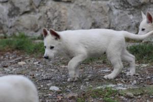 White-Shepherd-Puppies-BTWW-Spartans-081119-044