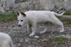White-Shepherd-Puppies-BTWW-Spartans-081119-045