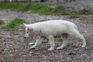 White-Shepherd-Puppies-BTWW-Spartans-081119-046