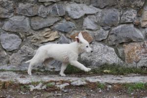 White-Shepherd-Puppies-BTWW-Spartans-081119-047