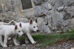 White-Shepherd-Puppies-BTWW-Spartans-081119-048