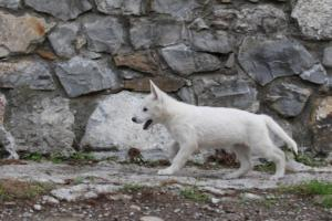 White-Shepherd-Puppies-BTWW-Spartans-081119-049