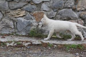 White-Shepherd-Puppies-BTWW-Spartans-081119-050