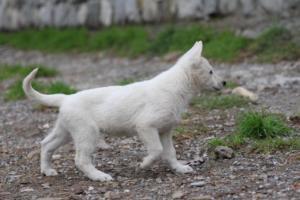 White-Shepherd-Puppies-BTWW-Spartans-081119-051