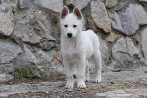 White-Shepherd-Puppies-BTWW-Spartans-081119-052
