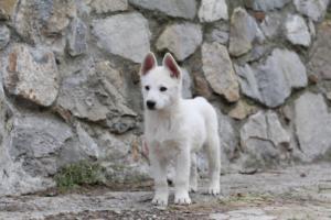 White-Shepherd-Puppies-BTWW-Spartans-081119-053