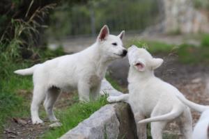 White-Shepherd-Puppies-BTWW-Spartans-081119-054