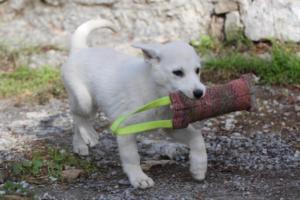 White-Shepherd-Puppies-BTWW-Spartans-081119-055