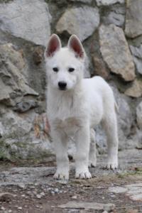 White-Shepherd-Puppies-BTWW-Spartans-081119-056