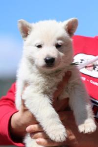 Berger-Blanc-Suisse-Chiots-BTWW-Theodosians-1
