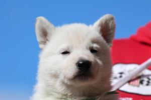 Berger-Blanc-Suisse-Chiots-BTWW-Theodosians-10
