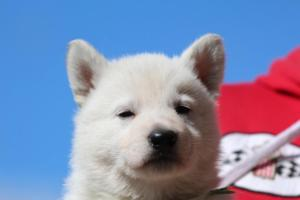 Berger-Blanc-Suisse-Chiots-BTWW-Theodosians-11