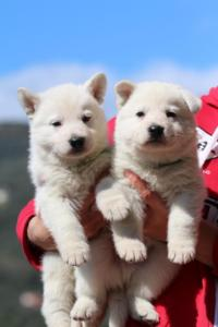 Berger-Blanc-Suisse-Chiots-BTWW-Theodosians-12