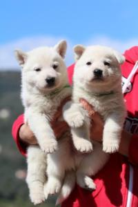 Berger-Blanc-Suisse-Chiots-BTWW-Theodosians-13