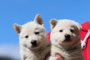 Berger-Blanc-Suisse-Chiots-BTWW-Theodosians-14