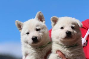 Berger-Blanc-Suisse-Chiots-BTWW-Theodosians-15
