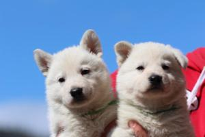 Berger-Blanc-Suisse-Chiots-BTWW-Theodosians-16