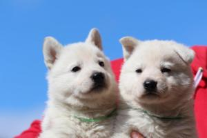 Berger-Blanc-Suisse-Chiots-BTWW-Theodosians-18