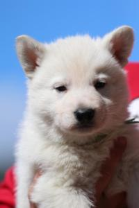 Berger-Blanc-Suisse-Chiots-BTWW-Theodosians-2