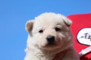 Berger-Blanc-Suisse-Chiots-BTWW-Theodosians-23
