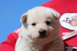 Berger-Blanc-Suisse-Chiots-BTWW-Theodosians-24