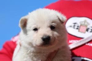 Berger-Blanc-Suisse-Chiots-BTWW-Theodosians-25
