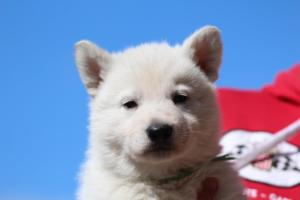 Berger-Blanc-Suisse-Chiots-BTWW-Theodosians-3