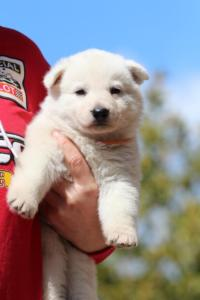 Berger-Blanc-Suisse-Chiots-BTWW-Theodosians-31