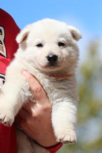 Berger-Blanc-Suisse-Chiots-BTWW-Theodosians-32