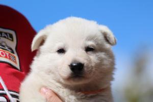 Berger-Blanc-Suisse-Chiots-BTWW-Theodosians-33