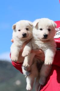 Berger-Blanc-Suisse-Chiots-BTWW-Theodosians-34