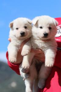 Berger-Blanc-Suisse-Chiots-BTWW-Theodosians-35